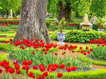 Champ de tulipes multicolores de la Saint-Valentin sur fond vert dans le parc inférieur de Peterhof pour ordinateur de bureau, fond d'écran, bannière. Paysage naturel avec espace de copie, zone de texte.