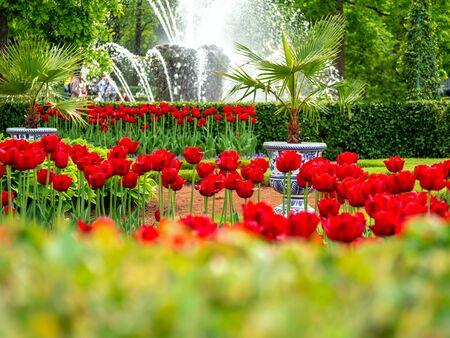 Tulipes multicolores de la Saint-Valentin sur fond vert dans le parc inférieur de Peterhof, fontaine d'eau pour ordinateur de bureau, papier peint, bannière. Paysage naturel avec espace de copie, zone de texte.