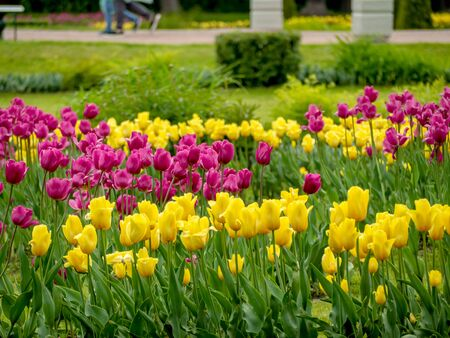 Multi-Colored Valentines Tulips field on green background in the Lower Park of Peterhof for desktop, wallpaper, banner. Natural landscape with copy space, text box.