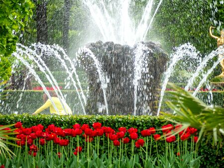 Multi-Colored Valentines Tulips on the green background in Lower Park of Peterhof,  water fountain  for desktop, wallpaper, banner. Natural landscape with copy space, text box.