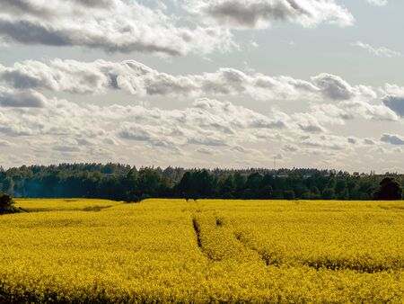 Charm of countryside. Summer panorama created by yellow rape field against blue sky with. spaces planted with rapeseed. rapes flowers, blue sky with clouds for wallpaper. Background with copy space Banco de Imagens