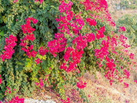 amazing red flowers of oleander against a clean blue sky in Phafos, Cyprus. Wall of red flowers in garden