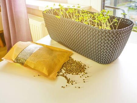 Seeds on the white surface, Paper packaging. Marijuana plant growng in a big black pot in front of window, legally for medical purposes. Marijuana young plant growing at home. illegal drug concept