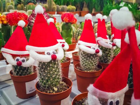 Cactus with Christmas hat. Cactus Hipster Man With Santa Hat. Tropical Christmas Concept. Minimal Fun Art. Potted In red. Over The Fir-Tree Branches Background. A Garden Party in a mall