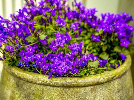 Decorative pots with blue flowers on the street of estonian town, Tallinn