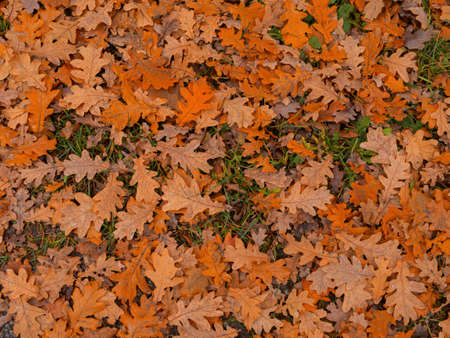 Dry autumn leaves of yellow, red, brown flowers lie on the ground. Bright yellow leaves among the dry maple and oak leaves. copy space