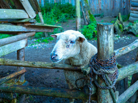 Cute portrait of farm animal sheep, lamb on spring. Stok Fotoğraf