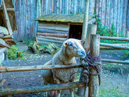 Cute portrait of farm animal sheep, lamb on spring. Фото со стока