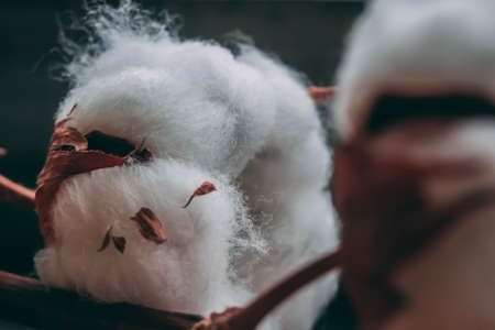 Fluffy cotton ball of cotton plant on the wooden table, macro, closeup Imagens