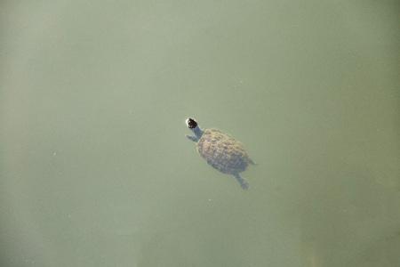 Little turtle swims in the lake. Close up. Sri Lanka. Imagens