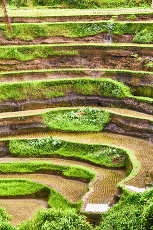 Rice plantations in Bali. View from above. Stock Photo