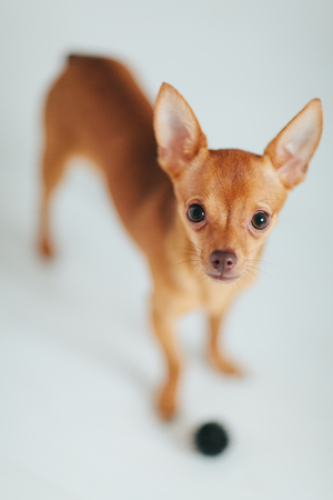 Toy Terrier. Little cute dog close up.