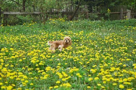 Cocker Spaniel is walking on the field with flower. Stock fotó