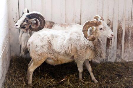 Soporte de dos carneros en un corral para ganado