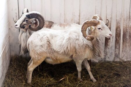 Two rams stand in a corral for livestock