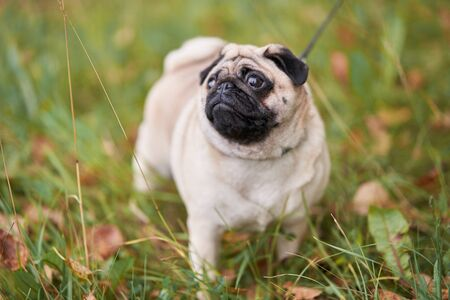 Young pug walks in nature. Dog walks on grass
