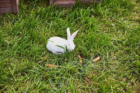 White rabbit eating carrot in the garden. 写真素材