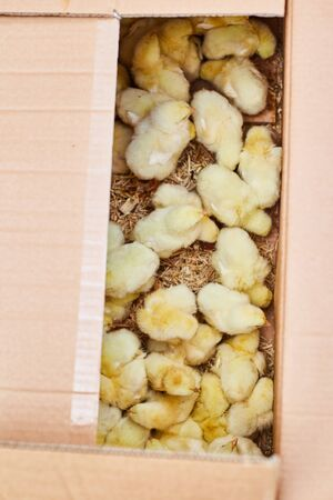 Little chickens in a box. Farmers market.