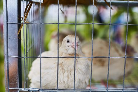Chicken in a cage close up. Agricultural exhibition. Stok Fotoğraf - 129304188