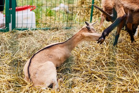 Little goats in the pen. Agricultural Exhibition. Stock fotó
