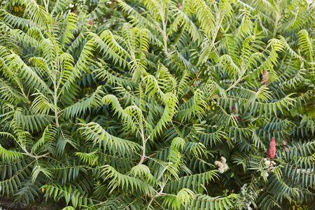 Taxus cuspidata. Green plant. Bush. Background. Botanical Garden