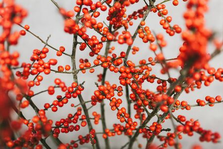 Bright orange berries on the branches of a tree. Stok Fotoğraf