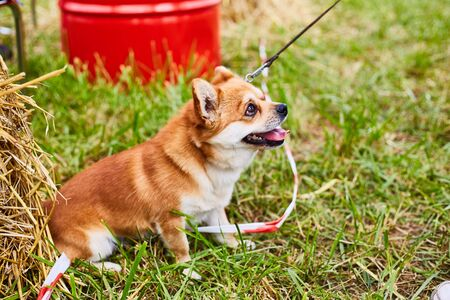 Little red dog on a leash for a walk.