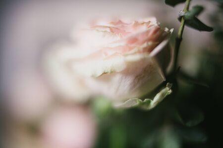 Close up of pink rose tea flower.