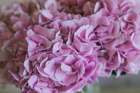 Bouquet of delicate pink flowers close up. Hortensia. 版權商用圖片