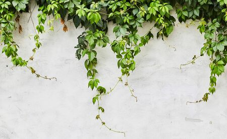 The Green Creeper Plant on the wall. Background.
