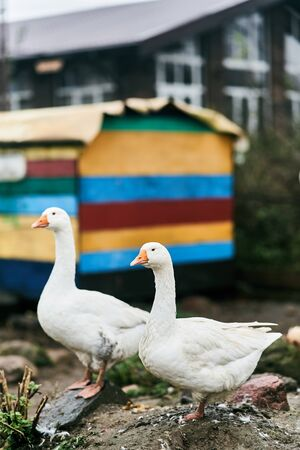 Two white geese in a zoo. Farm birds. Stock Photo