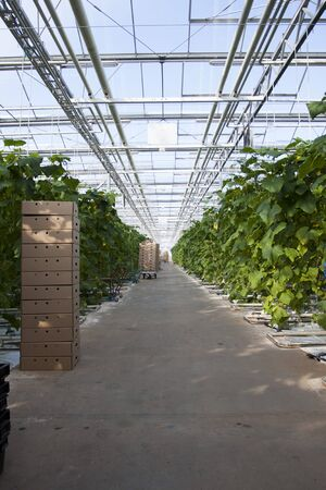 Large glass greenhouse. Growing cucumbers in greenhouse conditions.