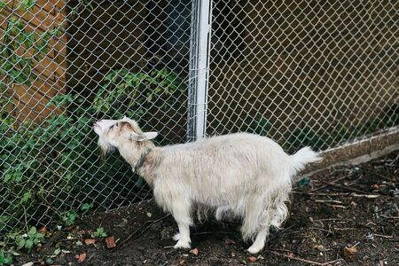 White goat in the paddock eats weed. Farm animal in the corral.