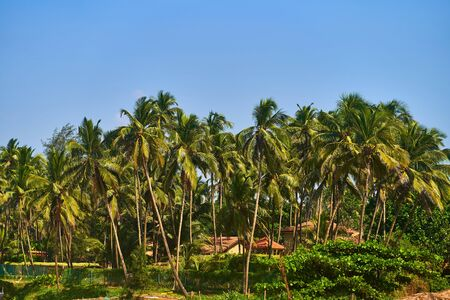 Palm forest in GOA. The coast of the Indian Ocean.