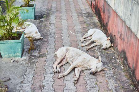 Three white stray dogs sleeping on the sidewalk. The capital of GOA, Panaji.