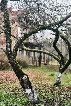 Old curved tree in the garden on a cloudy day.