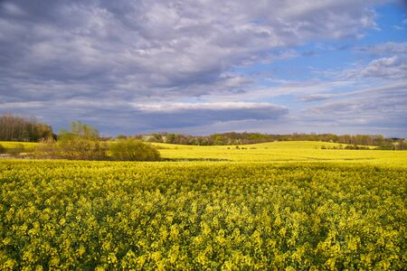 Yellow rapeseed flowers. Landscape with yellow rapeseed flowers.