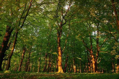 Sunset in a fairy forest. Sunset sun rays break through the leaves of trees. Archivio Fotografico