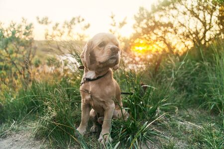 A young american cocker spaniel is sitting on the grass at sunset.