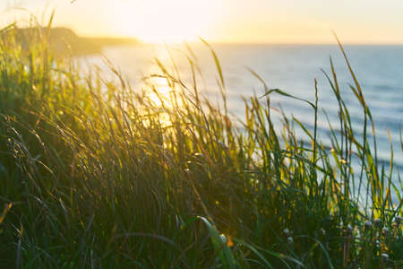 Green grass in sunset sunshine by the baltic sea.