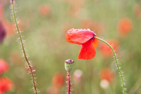 Red poppy close-up. Meadow with beautiful bright red poppy flowers in spring. High-quality photo