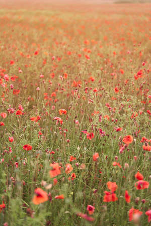 Meadow with beautiful bright red poppy flowers in spring. High-quality photo 写真素材
