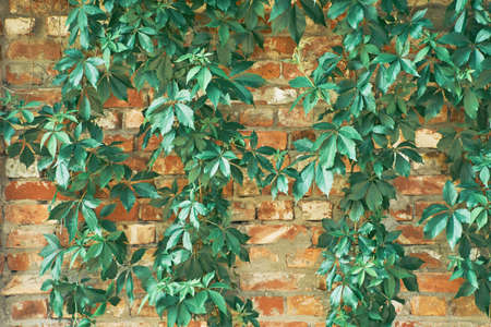 The Green Creeper Plant on a brick wall. Background. 写真素材