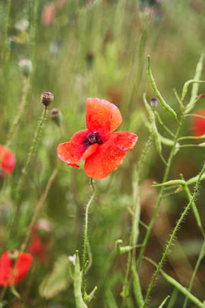 Red poppy close-up. Meadow with beautiful bright red poppy flowers in spring