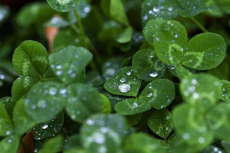 Fresh green clovers with water drops. Close up of clover Leaves in dark dense forest, grass. Shamrock. Rural nature view. Spring Holiday floral backdrop. Spring St. Patrick's Day Clovers background