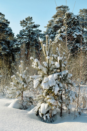 polar climate: Small pines in winter Park, Sunny day