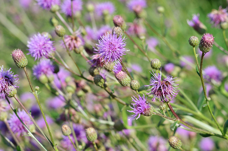 perennial: A perennial herb of Bur summer in the fields