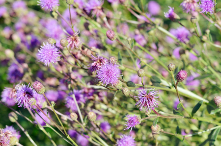 tubular flowers: A perennial herb of Bur summer in the fields