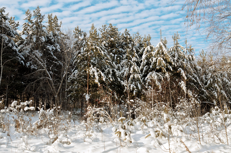 polar climate: Small pines in winter forest, Sunny day