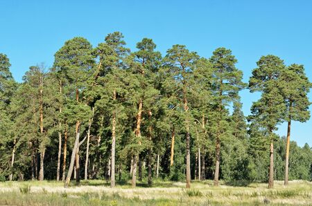 in a row: Pine built in a row in the summer on a Sunny day Stock Photo